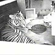 09-inside-tiger